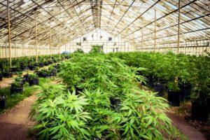 Cannabis Grower Resume