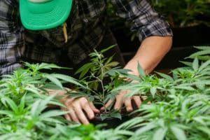 Cannabis Industry Resume