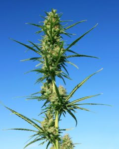 Marijuana Resumes