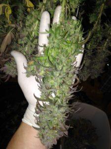 Marijuana Trimmer Resume